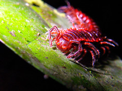 lots of legs ... times two ... (Fulgorke) Tags: pink red southamerica gg purple violet cayenne spines spikey spikes millipede gf spiney 2011 myriapoda frenchguiana frenchguyana diplopoda roura guyanefranaise patawa polydesmida montagnedekaw fulgorke paranota