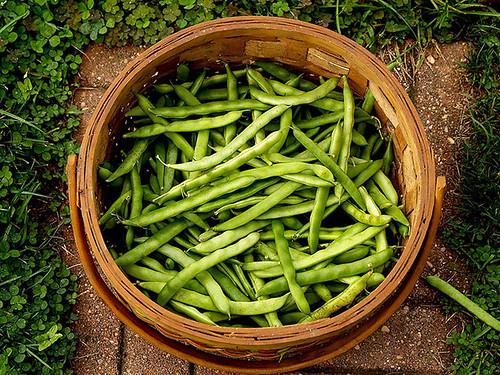 Pole Bean Harvest