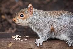 Sowing The Seed Of Friendship (fotojak1) Tags: squirrel rodent animal cute bushytail royalbotanicgardenedinburgh rbge outdoor outside scotland grey gray greysquirrel graysquirrel handheld nikond7100 sigma70300mm johnritchie