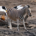 Plains Zebra (Equus quagga burchellii), Hamerkop and Saddle-billed Stork at waterhole ...