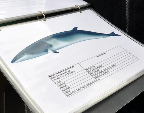 The MInke Whale