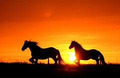 Sunset : horse Latitudes (The Family Dog) Tags: sunset horses horse cheval caballos silhouettes cavalos pferde equine equines cheveaux tropsilla