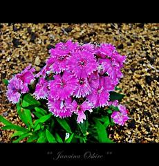 """Lilac"" ( Photography Janaina Oshiro ) Tags: naturaleza flower macro nature japan digital natureza flor lilac lilas nikond90 adrinnesmagicalmoments"