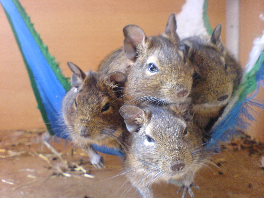 still very cozy in their hammock  e  teuling  tags  pet pets rodent the world u0027s newest photos of degoes   flickr hive mind  rh   hiveminer