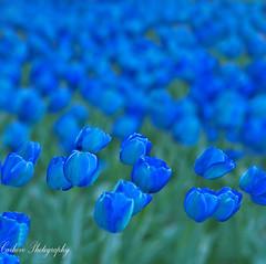 Tulipanes en el aire (Carhove) Tags: blue naturaleza flores flower nature azul garden tulips jardin explore tulipas tulipanes nikond80 platinumheartaward thesuperbmasterpiece explorewinnersoftheworld carhove 100commentgroup