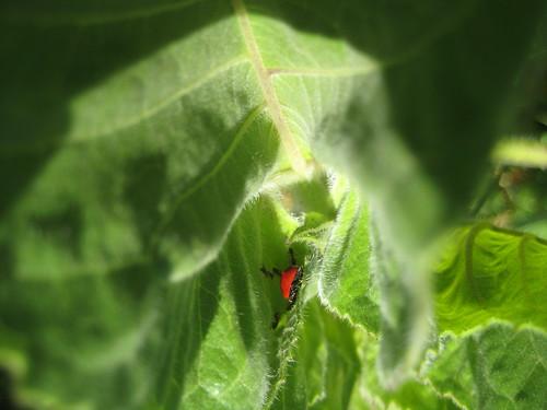 ants and ladybug = aphids