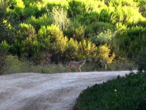 coyote waits