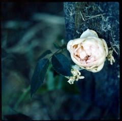 rose (lawatt) Tags: flower film leaves rose fuji cottage hasselblad climbing extensiontube fp100c
