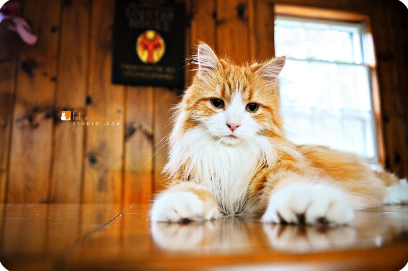fluffy white and orange cats - photo #21