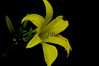Yellow Day Lily01.jpg