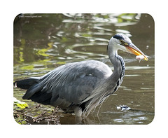 Lunch! - 256/365 (Ian Livesey) Tags: uk fish reflection bird heron water yellow manchester lunch bill fishing kill northwest eating beak feathers salford dailyphotograph ianlivesey ianliveseygmailcom