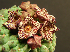 larryleachia cactiforme (trichocaulon) (marcoxaero) Tags: camera flowers cactus plant flower macro nature digital photo succulent foto starfish great natura finepix fujifilm carrion fiori s5500 hoya stapelia kakteen orbea ceropegia huernia hoodia bellissimi asclepiad pseudolithos caralluma piaranthus apocynacee larryleachia rhytidocaulon echidnopsis trichocaulon brachystelma asclep raphionacme stapelianthus orbeanthus asclepiadacee huerniopsis ophionella
