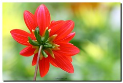 DAHLIA BOKEH (PHOTOPHOB) Tags: dahlia flowers autumn red summer plants plant flores flower color macro rot nature fleur beautiful beauty fleurs germany garden petals spring colorful flickr estate autum stuttgart blossom sommer herbst natur flor pflanze pflanzen blumen zomer verano bloom blomma dalie t blume fiore blomst asteraceae dahlias dalia frhling yaz bloem floro kwiat killesberg dahlie dahlien kvt blomman blomsten lestate dalio excellentsflowers photophob wonderfulworldofflowers