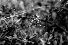 spiders, black widow with Sigma 105mm f/2.8 1:1 Macro EX DG