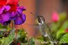 ADS_USA_000005461 (dickysingh) Tags: travel wild usa india west bird nature fly tour hummingbird outdoor wildlife flight roadtrip aditya singh dicky adityasingh ranthamborebagh theranthambhorebagh slbfeeding wwwranthambhorecom