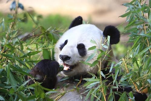 Panda Bear - San Diego Zoo