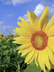May the sun shine warm upon your face. (W9NED) Tags: blue summer sky sun flower color nature field yellow america midwest sunflower northamerica anawesomeshot mimamorflowers orangecountyindiana natureslittlewonder dschx1