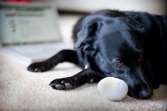 Enough (Bordadorhund) Tags: portrait dog bodylanguage carmen eggtoy squeaksqueaksqueak bordadorhund notasmuchfunwhensomeoneelseisdoingit