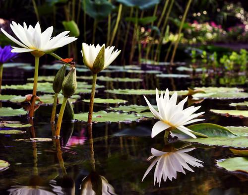 Waterlilies:  September 5, 2009