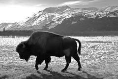 (Jaysinnva) Tags: alaska d50 anchorage bison