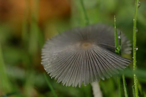 Coprinus lagopus | Hazenpootje - Haresfoot inkcap