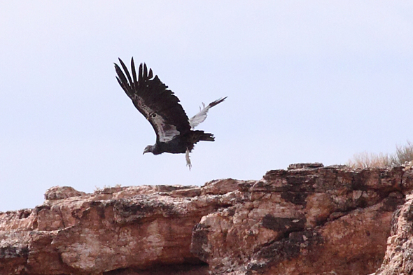 112_californiaCondor2