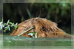 Sealed with a kiss (hvhe1) Tags: nature water animal bravo kiss searchthebest wildlife natuur beaver explore naturereserve frontpage dier biesbosch wetland knaagdier bever natuurreservaat specanimal hvhe1 hennievanheerden dedoka
