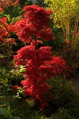 Autumn Acer palmatum 'Shaina' (Four Seasons Garden) Tags: autumn light red england sunlight colour english fall beautiful leaves marie gardens garden four japanese maple october all colours open seasons picture tony foliage national acer scheme shaina staffordshire newton walsall palmatum ngs shc anawesomeshot fourseasonsgarden