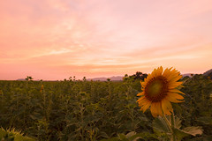 Sunflower Fields, Lop Buri, Thailand (Nobythai) Tags: life morning flowers sunset sky flower art nature forest sunrise landscape geotagged thailand eos asia southeastasia sundown dusk thai sunflower  5d aasia lopburi supershot nature  mywinners anawesomeshot streetthailand flickraward unseenasia earthasia totallythailand  impensable