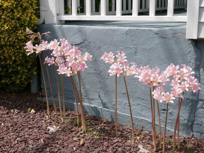 pale pink fleurs grey wall