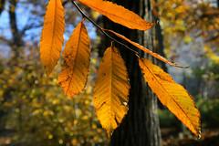 Foglie (marco marescotti) Tags: albero autunno colori naturalmente valsassina fogliesecche