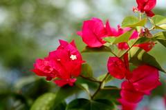 Temporada das flores... (Fabiana Velôso) Tags: flores verde folhas cores bokeh vermelho música pétalas fabianavelôso