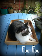 Foo Foo's Coffee Tray (End of Level Boss) Tags: foofoo cat moggy coffee tray sydney australia 2009 garden relaxing cath  mo  kedi   katt maka   pisic kot kucing kat mace   gat   koka kass pusa kissa chat gato katze    macska kttur  kais kat