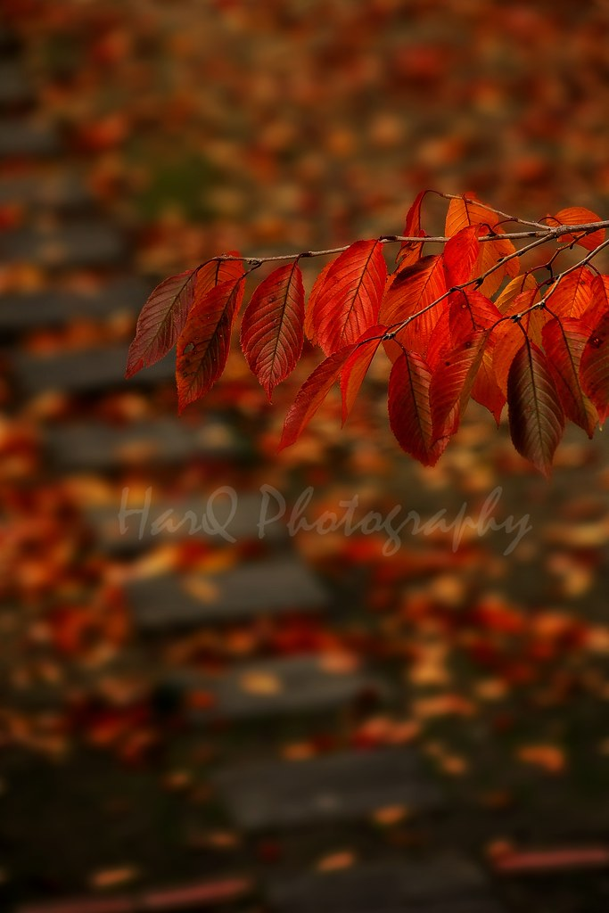 Autumn Color of Cherry