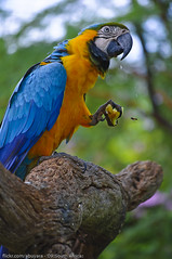 Intruder - South Africa (Dhowayan (Abu Yara)) Tags: branch parrot bee