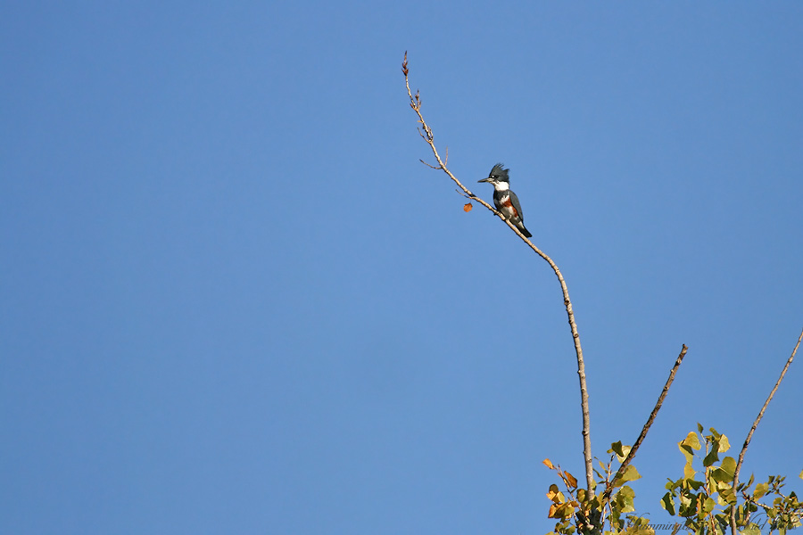 Belted-Kingfisher 110906