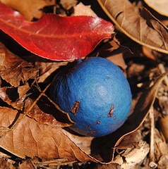 Blue Marble tree's seed and red leaves on the ground (jungle mama) Tags: bluemarble fairchildtropicalbotanicgarden supershot blueseed bluemarbletree elaeocarpaceae elaeocarpusangustifolius elaeocarpus bluequandong bluefruit australianrainforestplants nswrfp qrfp arffs mygearandme bluearffs tropicalarf subtropicalarf cyrfp bluemarbleselaeocarpus buefig ftbgarfp usabgarfp