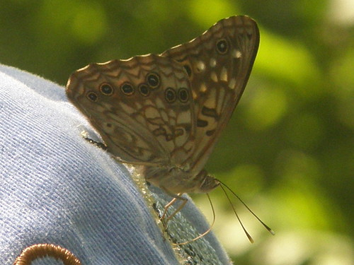 Hackberry Emperor on hat