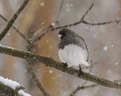 Dark-eyed Junco - 8935 (RG Rutkay) Tags: darkeyedjunco junco backyard birds home urban wild winter