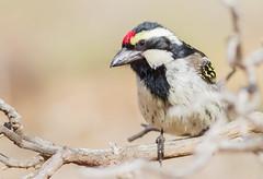 Acacia Pied Barbet (Tricholaema leucomelas) (George Wilkinson) Tags: tricholaemaleucomelas acacia pied barbet goegap nature reserve northern cape south africa bird wildlife canon 7d 400mm karoo
