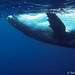 humpback-swimming-tonga69