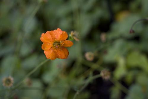 orange rain flower