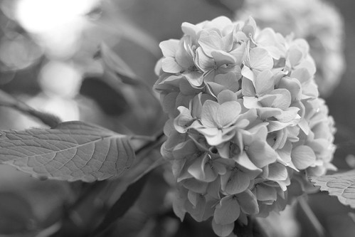 hydrangea close up bw