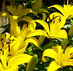 Lovely, Lovely Lilies (AGreatEuropeTripPlanner!) Tags: flowers flores nature yellow fleurs garden blumen lilies fiori fiore yellowflowers bloemen stargazerlilies blhen floresamarelas fiorigialli gelbeblumen bloeien florecen floresamarillas fleursjaunes perfectpetals cmwyellow florescem flowersonflickr