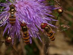 Hover fly fest!! (WaterBugsPics) Tags: wild black flower green nature beautiful yellow bug purple thistle hero winner hoverfly superherochallenge 15challengeswinner macrolife ultrahero agcg phoddastica macrolifechallenges