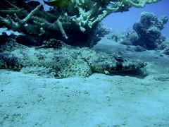 Crocodilefish (Oz Eigerman) Tags: sea fish israel underwater  scuba diving  eilat