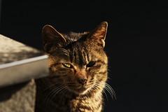 Insight (H2@Japan) Tags: street japan cat tokyo nikon kitty 東京 猫 d300