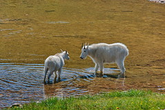Mountain Goats Drinking
