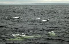 everywhere (makeupanid) Tags: tour quebec estuary whale beluga marinemammal stlawrenceriver cetacean whitewhales animalencountergateway riviereduloupe sauguenayriver