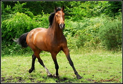 Something interesting here ? (Laurelin1) Tags: horse brown green nature field grass animals cheval nikon play outdoor vert fave explore chestnut d200 trot bai herbe horseplay galop horseatwork prairial sellefranais horsegame frenchsaddlehorse pratinas